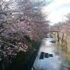 3月22日(木)西日に照らされる三分咲きのソメイヨシノと、ついに一月を超えた酒場の休業。