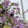 3月頭、春の霧雨のハノイでのもやもやと花見