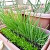 葉ネギと小松菜・水菜の収穫