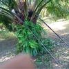 パーム椰子初収穫。