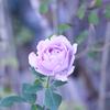 我が家のバラ「ブルームーン」