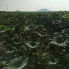#アンコールワット個人ツアー(546) #シェムリアップ市内の郊外にある、ハス田観光ツアー