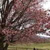 オバケ川の近くにあるオバケ桜を見てきました。|北海道浦河・JRA日高育成牧場