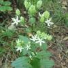 野幌森林公園は楽しい!4 夏の花 アケボノソウ!