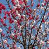 春だ!桜だ!お花見だ!(バナナマンの番組風)