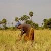 アンコールワット個人ツアー(97)カンボジアの農業ツアー+カンボジア田んぼ [カンボジア 農業 情報 ]