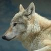 8/27 激レアさん 「オオカミ7頭と長屋で暮らした人」 オオカミが飼えるとは!!おそらくは専門家だからできたことでしょうが!!また、滝沢カレンの面白さが目立った回でもありました!!