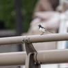 🐤野鳥の回【13】🆕 セグロセキレイ(背黒鶺鴒)スズメ目セキレイ科