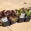 葉物野菜の苗を調達しました
