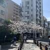 連休中日の春のうららの隅田川テラス・・・の桜