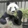 パンダの赤ちゃん、1週間超え「まずは一安心」