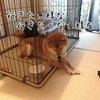 柴犬の新太郎は散歩が好き?嫌い?飼い主との朝の心理戦勃発