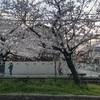 玉串川の桜