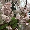 バンジーと桜