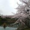 関西の桜〔第715歩〕