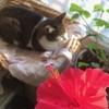 ハイビスカスと猫