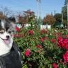 秋の薔薇を見に伊奈町へ