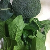【家庭菜園】打順3,4番はブロッコリーとほうれん草