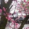 下御霊神社の梅が凄い でも曇天