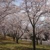 大法師山公園の桜、、、、