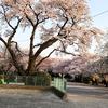 桜の花見の超穴場を発見して、大喜びです^^