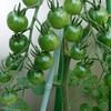 【プランター栽培】梅雨の長雨で落ちたミニトマト