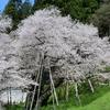 【聖地巡礼】【氷菓】樹齢1100年の臥龍桜を見に行った感想