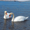 春初日と白鳥の湖