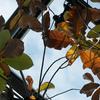 ホウノキMagnolia obovata