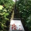 回帰水イチゴ採り放題