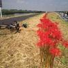 曼珠沙華 ride 181km + brick run / Red spider lily