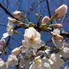 桜咲く、満開までもう少し