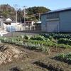 今日は行くぞっ、何処へって畑へ。埋めて置いた野菜を収穫した後も埋め戻しを忘れない。