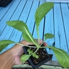 白菜 レタスのプランター植え付け!! 芽キャベツ??