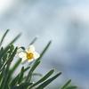 咲き始めたニホンズイセン