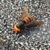 スズメバチがまたいた