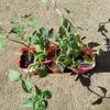 ゴデチア&ミニトマト植え付け/ニューフルカワ(ピザ、焼きそばパン、ドーナツ)