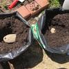 土袋で栽培できるジャガイモ