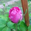 最近咲き始めたバラ達 ~その2~