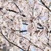 金沢の桜便り