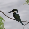 ベリーズ クルックドツリー野生生物保護区のカワセミなど
