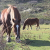 寒立馬──下北半島で自然放牧される馬たち