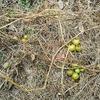 食べ蒔き三期生ダイジェスト 1月中旬・シーズン終了のお知らせ&根っ子から解る作物の成長率