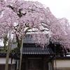 しだれ桜慶恩寺