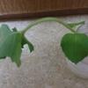 【植物日記】オーデコロンミントの茎が折れたが(小さい茎編)