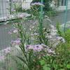シオンが咲きました