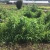 オルかな農園報告㉛~草が生えすぎてビックリ!!野菜はどこに?~