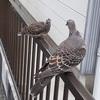 鳩の親子・・・巣立ちの日かな