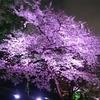 魔界の夜の桜 2015