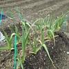 イチゴ追肥、ネギ収穫、じゃがいも植付け